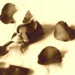 broken_rose